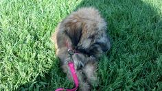 Our Zoey, 4 months old. (wheaton terrier)