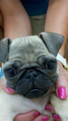 Pug, oh my goodness, so cute!!!