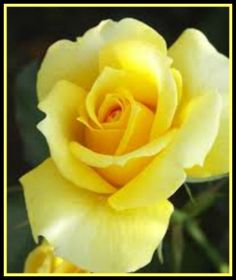 Yellow Rose of Texas! My favorite rose!