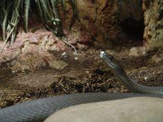 Dal mamba nero un analgesico migliore della morfina  Nel veleno mortale del serpente sono state identificate le mambalgine, proteine in grado di ridurre il dolore nei topi. Lo studio su Nature  Leggi lo studio su Galileo (http://www.galileonet.it/articles/506d4e00a5717a366200003c)  Credits immagine: Danleo/Wikipedia