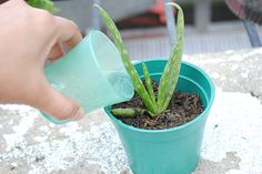 Aloe Vera plant care and watering is important as these succulent plants are made up of water. It is important they are watered every 4 to 5 days.