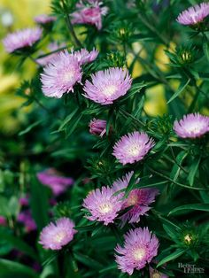 Grow this tough perennial for its long season of bloom and easy-growing habit. The blue or lavender flowers appear continuously through summer and into fall. Lavender Flowers, Purple Flowers, Wild Flowers, Lavender Blue, Water Garden, Garden Plants, Rain Garden, Winter Plants, Hardy Perennials