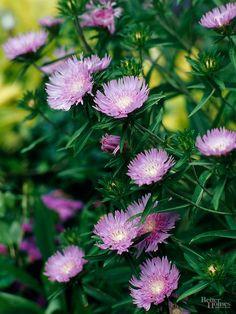 15-plantas-para-inviernos-duros-14 aster