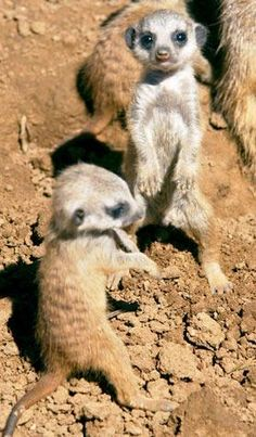 The only thing cuter than a meerkat - baby meerkats!