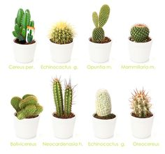 Tipos De Cactus House Plants Types of cactus , cactus art, cactus draw Cactus Terrarium, Cactus House Plants, Indoor Cactus, Garden Cactus, Mini Cactus, Cactus Flower, Cactus Art, Cactus Drawing, Cactus Names