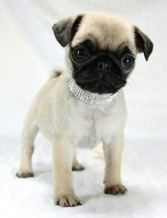 This pug is so cute.