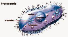 DEFINICIÓN: Los protozoos son organismos unicelulares o compuestos por un grupo de células que son idénticas.Los protozoos, aunque son unicelulares, pueden ser coloniales, pero cada individuo se desenvuelve por sí mismo sin depender de la colonia aunque ésta llegue a fragmentarse. Están formado por una célula similar. Su forma de locomoción es variada en función del organismo en cuestión y a la que haremos referencia en el apartado dedicado a los grupos de protozoos.