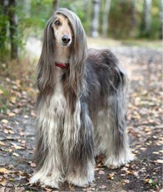 Magnificent Afghan Hound