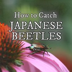 Japanese beetles are an invasive insect slowly taking over gardens in Canada and the United States. Find out how to slow them down in your garden. Ants In Garden, Slugs In Garden, Garden Insects, Garden Pests, Organic Insecticide, Japanese Beetles, Garden Care, How To Get Rid, Pest Control