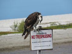 "Bird Photos, Birding Sites, Bird Information: OSPREY ON ""NO TRESPASSING"" SIGN, TIGERTAIL BEACH, ..."