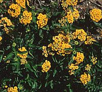 New GoldTM Lantana, Lantana x hybrida 'New Gold' - Texas Superstar selection by Texas A AgriLife.  Drought tolerant, heat loving, low maintenance perennial with a wealth of golden yellow flowers. Reduced fruit set promotes prolific blooming spring till frost. Deer tolerant. A very adaptable and popular perennial.