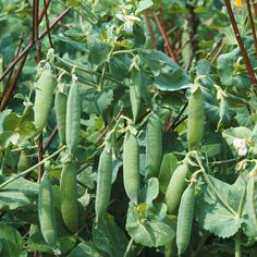 Pea 'Kelvedon Wonder' (First Early) - Pea & Bean Seeds - Thompson & Morgan