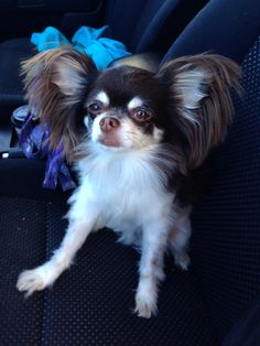 my long-haired Chihuahua Baci I love him with all my heart ❤️@Jessee Manegold