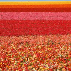 The Flower Fields in Carlsbad love color blocking. What's your favorite San Diego spring fashion? www.sandiego.org/...