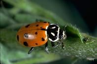 University of California Davis Leaf Hopper enemies. Convergent lady beetle adult