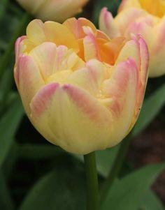 Double Late Tulip 'Crème Upstar'