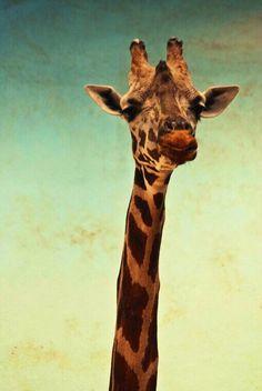 giraffe iphone wallpapers