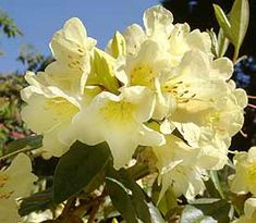 14 Best Yellow Rhododendrons Images Garden Landscaping Shades