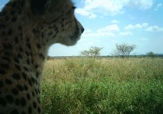 Contemplating cheeta.