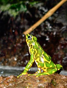 ♥ Found in rain forest mountains of Colombia, the mottled harlequin frog species is from the genus Atelopus