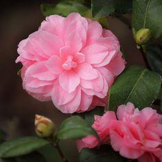 Camellia japonica 'Miss Bessie Beville' (U.S., 1976)
