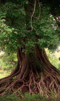 Bodhi tree (Ficus Religiosa) to Bonsai Tree