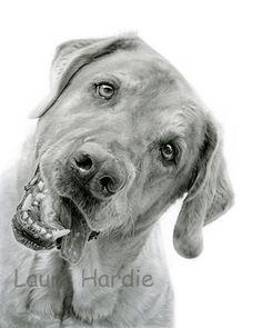 Labrador pencil drawing by Laura Hardie