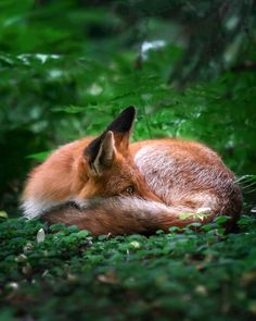 While many animals catch his eye, wildlife photographer Ossi Saarinen is particularly known for his revealing fox photos. In each fox portrait, he skillfully captures the animal's unique expressions and distinctive appearance, Nature Animals, Animals And Pets, Funny Animals, Cute Animals, Wild Animals, Most Beautiful Animals, Beautiful Creatures, Wolf Hybrid, Fox Images