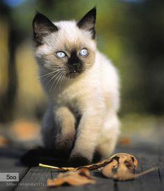 Kitty. by andriysolovyov. Please Like http://fb.me/go4photos and Follow @go4fotos Thank You. :-)