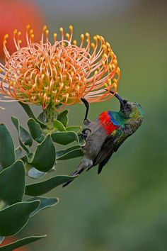 Southern Double collared Sunbird (Cinnyris chalybeus) on South African Protea flower.