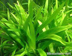Sagittaria platyphylla. ENGELMANN , J.G. Sm, 1894 Aquascaping Plants, Aquatic Plants, Herbs, Water Plants, Herb, Medicinal Plants