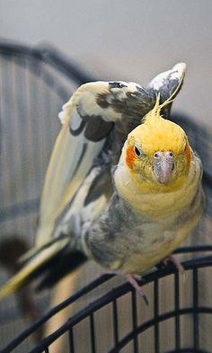 #cockatiel    Like and Repin! #birds #animals #cockatiel Cockatiel, Budgies, Parrots, Pretty Birds, Beautiful Birds, Fluffy Animals, Cute Animals, Conure, Cover Pics