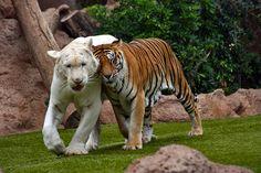 Tiger & White Tiger