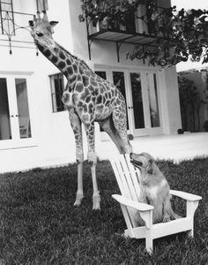 the giraffe and the dog.. haha