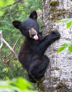 Funny Wildlife, Bear cub: you can't get me!!