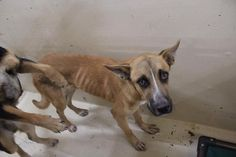11/14/16-Bradley is a Shepherd mix male less than a year old He is skin and bones. He needs OUT! Kennel A20 $51 to adopt ADOPT/RESCUE/FOSTER Located at Odessa, Texas Animal Control. Must have a valid Drivers License and utility bill with matching address to adopt. They accept Credit Cards, cash or checks. We ARE NOT the pound. We are volunteers who network these animals to try and find them homes. Please send us a PM if we can answer any questions for you.