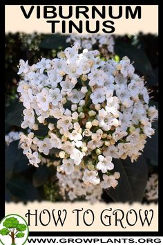 Viburnum tinus - How to grow & care Growing Flowers, Growing Plants, Planting Flowers, All Plants, House Plants, Vegetative Reproduction, Evergreen Bush, Small Trees, Planting Seeds