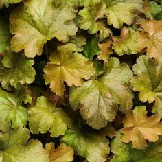 Its no wonder this heuchera is called Carnival Coffee Bean Coral Bells. Were loving the warm caramel accents on those large leaves. So pour a cup and enjoy this beauty in your Insta feed. Happy National #CoffeeDay! (zones 4-9)