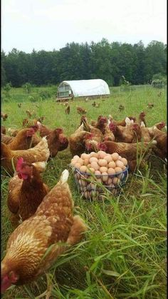3 Best Egg Laying Chickens For Your Backyard – Chicken In The Shadows Best Egg Laying Chickens, Chickens And Roosters, Raising Chickens, Country Life, Country Living, Beautiful Chickens, Hens And Chicks, Chicken Breeds, Farms Living