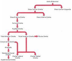 Aula de Anatomia - Sistema Cardiovascular - Sistema Arterial