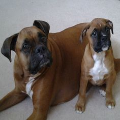 Did someone say TREAT?  #boxerdog #dogtreats #boxers #dog #dogs #boxerpuppy