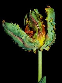 A Parrot Tulip. There was a time that Tulips were valued as the Gold Standard Unusual Flowers, Amazing Flowers, Green Flowers, Pretty Flowers, Art Beauté, Parrot Tulips, Shades Of Green, Planting Flowers, Orchids