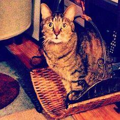 """I iz a magazeen."" #SimonAndStellaCats #Stella #Simon #cats #cat #kitty #kitteh #gato #monkeybuns #furpig #neko (at La Kitteh Inn Pacifica Beach Hideway)"