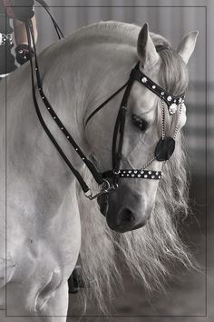The Andalusian, also known as the Pure Spanish Horse or PRE (Pura Raza Española), is a horse breed from the Iberian Peninsula, where its ancestors have lived for thousands of years. Description from pinterest.com. I searched for this on bing.com/images
