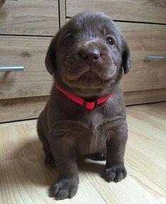 Cane Corso pup.