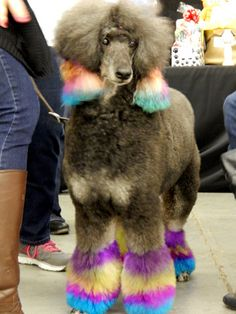 Rainbow Poodle  #dog www.outlawkritters.com/blog