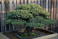 Japanese White Pine - In Training Since 1625 . It is so beautiful and only 388 yrs old! | Flickr - Photo Sharing!