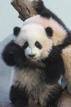 Rate that reaction Little Panda, Panda Love, Cute Panda, Panda Panda, Cute Baby Animals, Animals And Pets, Wild Animals, Baby Panda Bears, Baby Pandas