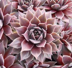 Sempervivum 'Pacific Wick's Bloom'