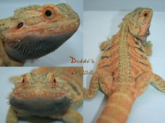Danny's Dragons Trans leatherback